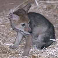 200x200_wrc_coyote-pup